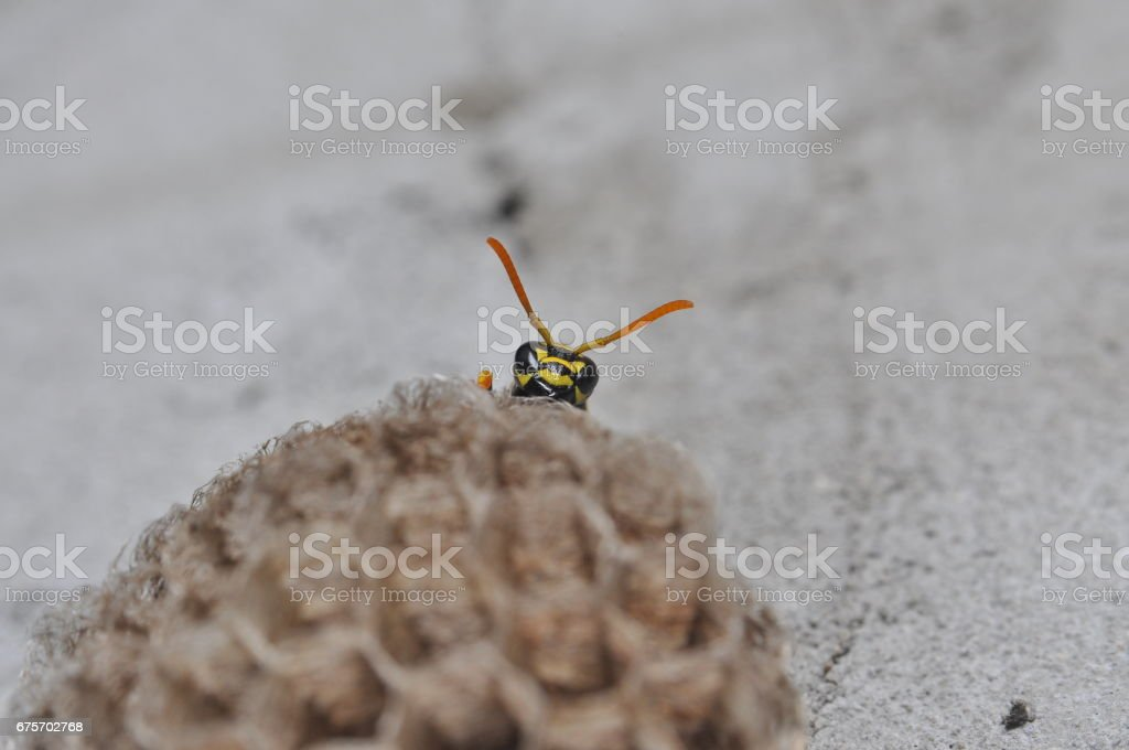 Wasp on honeycomb. royalty-free stock photo