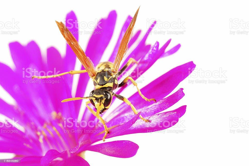 Wasp on magenta flower stock photo