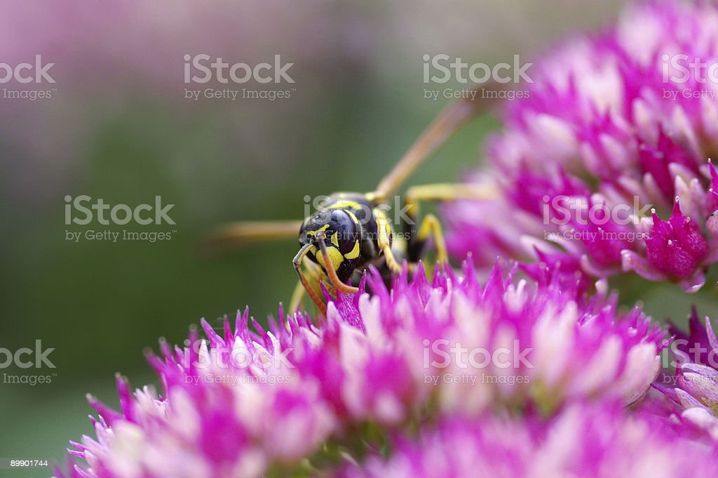 Wasp on Stonecrop royalty-free stock photo