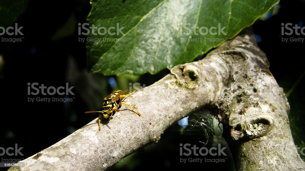 Wasp on Tree Branch stock photo