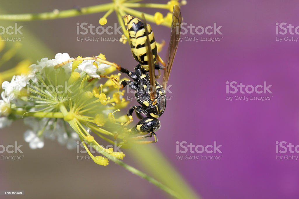 Wasp on wild dill plant royalty-free stock photo