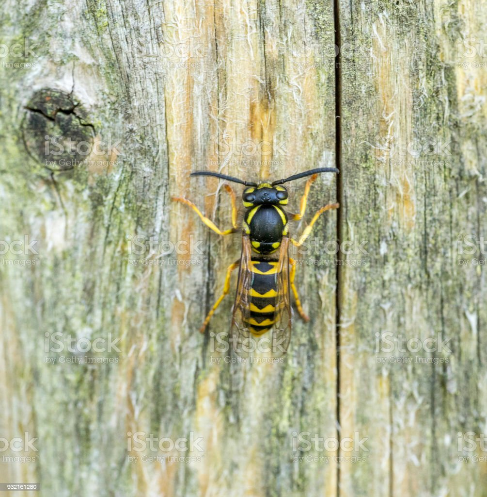 wasp on wooden ground stock photo