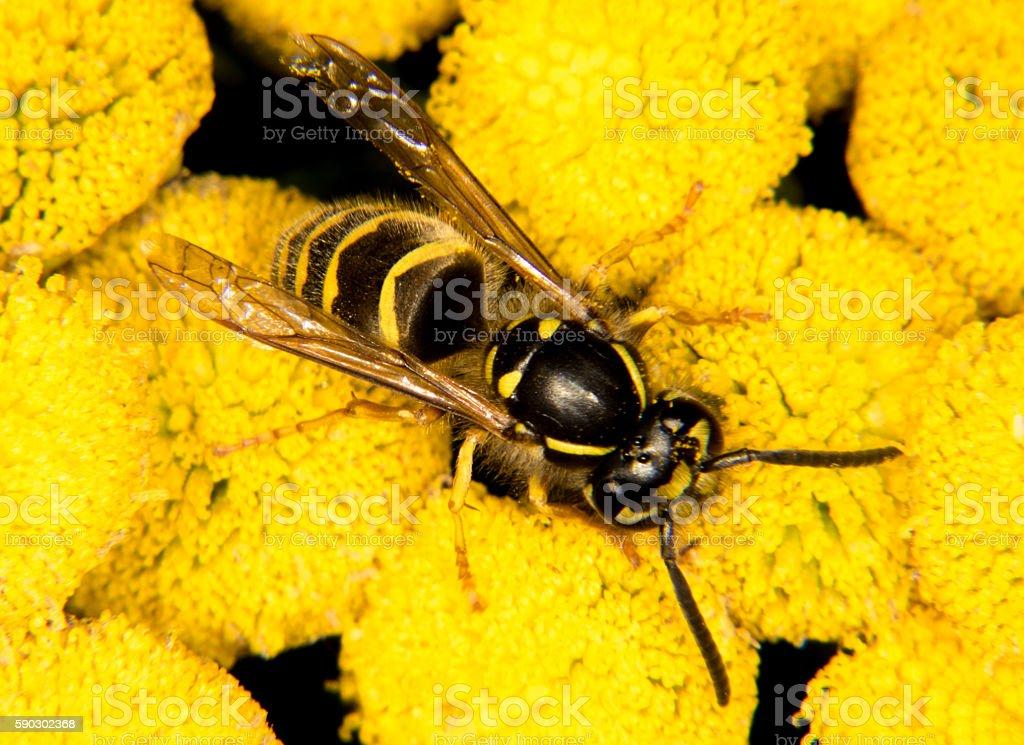 Оса на желтый цветок Стоковые фото Стоковая фотография