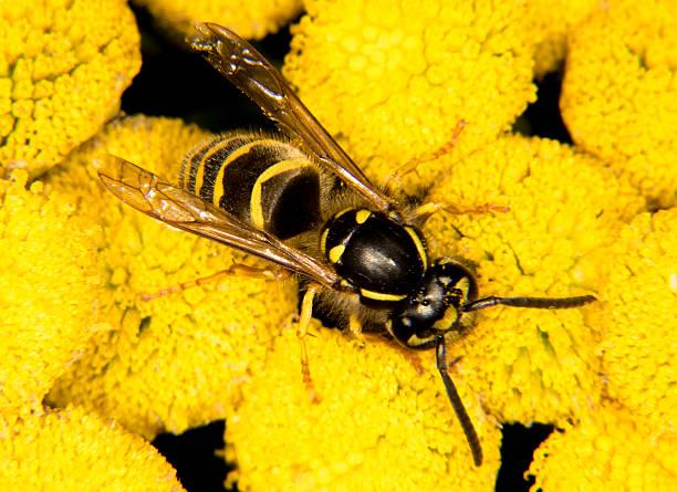 vespa na flor amarela - vespa comum - fotografias e filmes do acervo