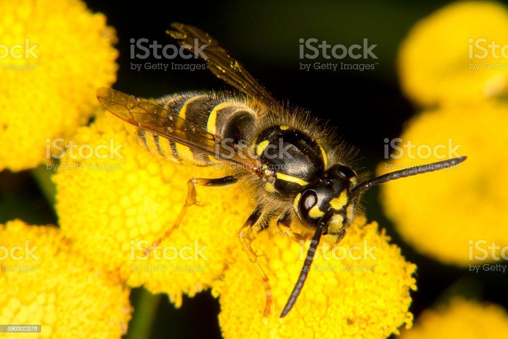 Wasp on yellow flower royaltyfri bildbanksbilder