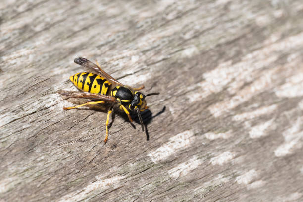 wasp or gyellow jacket on weathered wood looking for material for the nest, the wasp plague in summer is dangerous for allergy sufferers, copy space - giacca foto e immagini stock