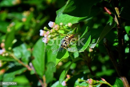 972704120istockphoto Wasp or Hornet, insect of the order Hymenoptera and suborder Apocrita that is neither a bee nor an ant. Closeup of Large wasp, Dangerous, Striped fly macro in Cottage Garden in Utah, USA. 965279004