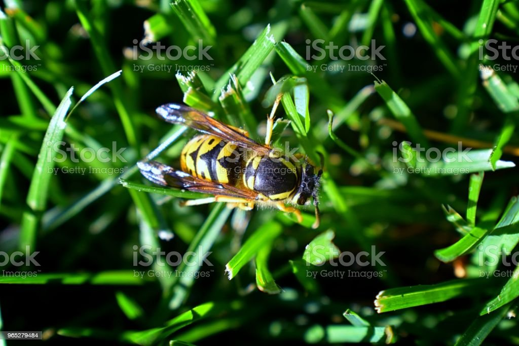 Wasp or Hornet, insect of the order Hymenoptera and suborder Apocrita that is neither a bee nor an ant. Closeup of Large wasp, Dangerous, Striped fly macro in Cottage Garden in Utah, USA. royalty-free stock photo