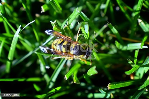 972704120istockphoto Wasp or Hornet, insect of the order Hymenoptera and suborder Apocrita that is neither a bee nor an ant. Closeup of Large wasp, Dangerous, Striped fly macro in Cottage Garden in Utah, USA. 965279484