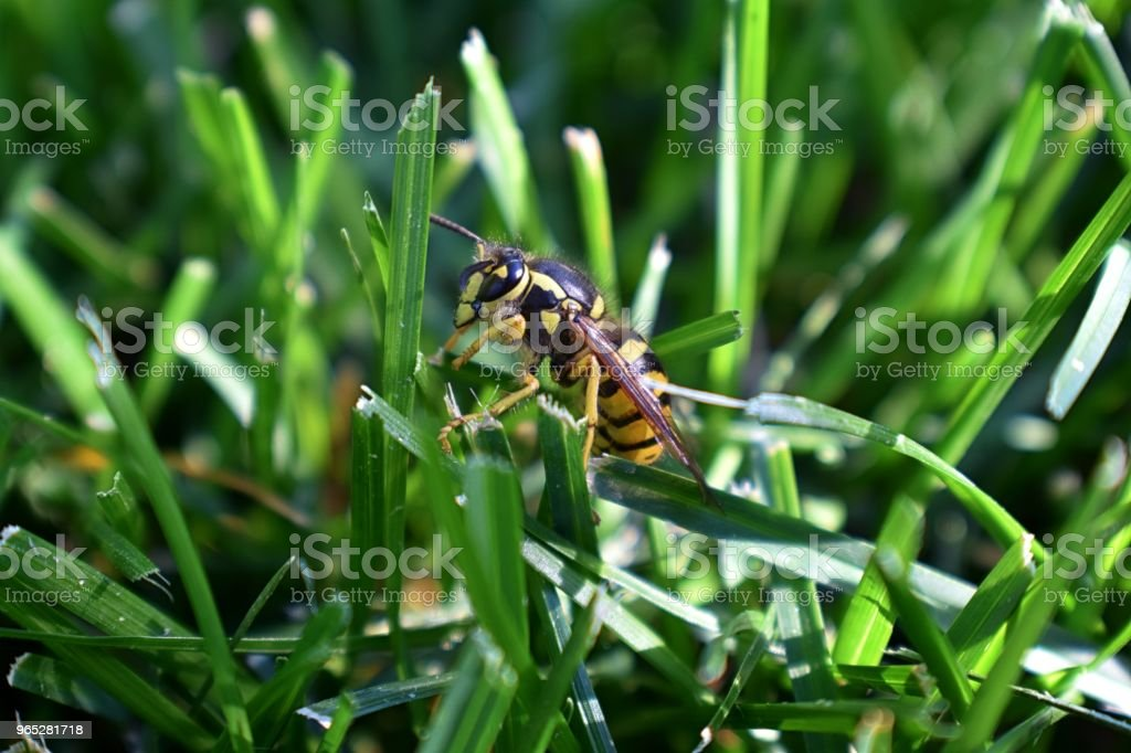 Wasp or Hornet, insect of the order Hymenoptera and suborder Apocrita that is neither a bee nor an ant. Closeup of Large wasp, Dangerous, Striped fly macro in Cottage Garden in Utah, USA. zbiór zdjęć royalty-free