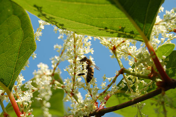 wasp pollinating japanese knotweed - japanese knotweed stock pictures, royalty-free photos & images