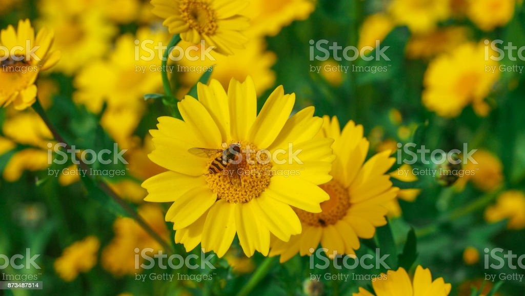Wasp resting on a big yellow daisy flower in a sunny day. stock photo