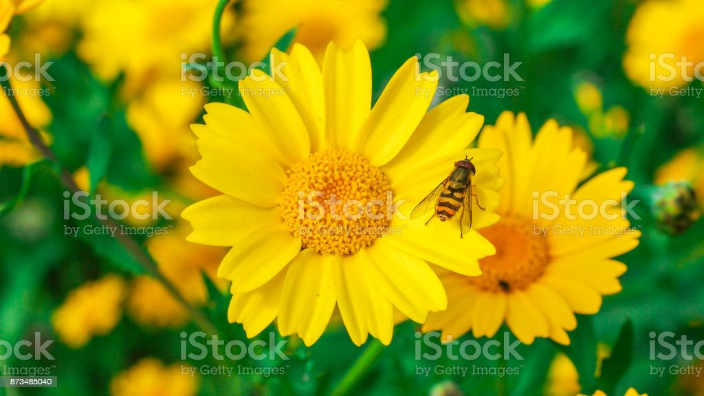 Wasp resting on the petals of a big yellow daisy flower in a sunny day. stock photo
