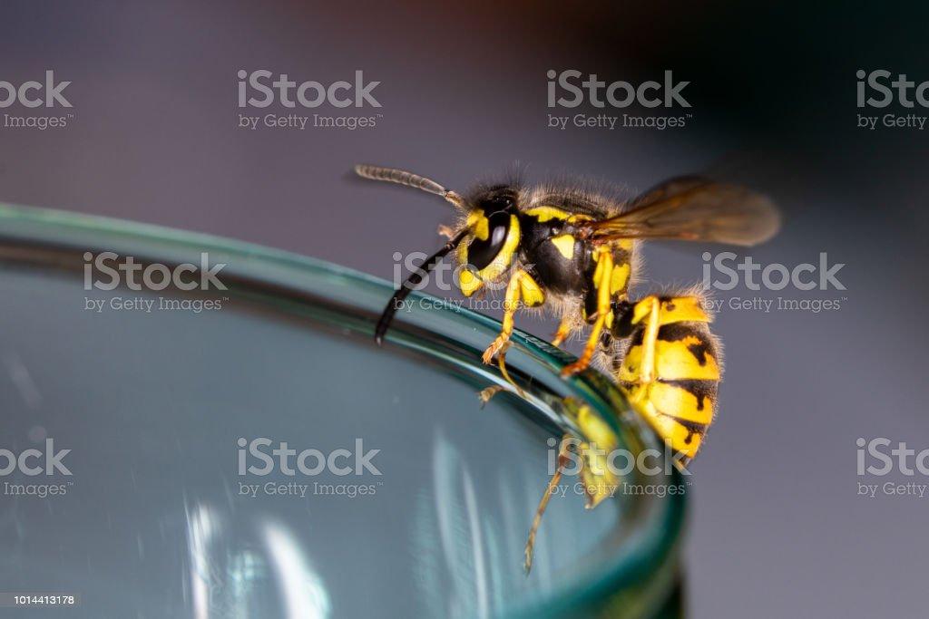 Avispa en un vidrio - peligro de tragar una avispa en el verano - foto de stock