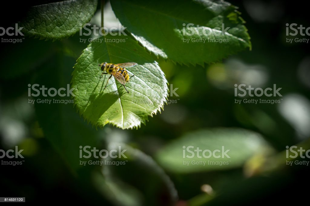 Wasp sitting on a green leaf in sunlight resting. royalty-free stock photo