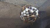wasp sitting on wasp nest close up. Animal colony, macro.