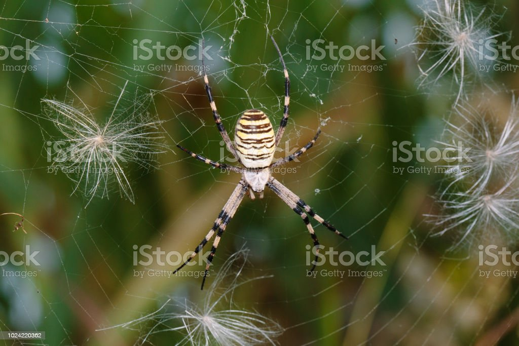 Aranha de vespa - Argiope bruennichi - foto de acervo
