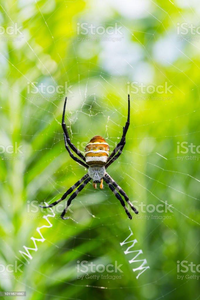 closeup de aranha de vespa - foto de acervo