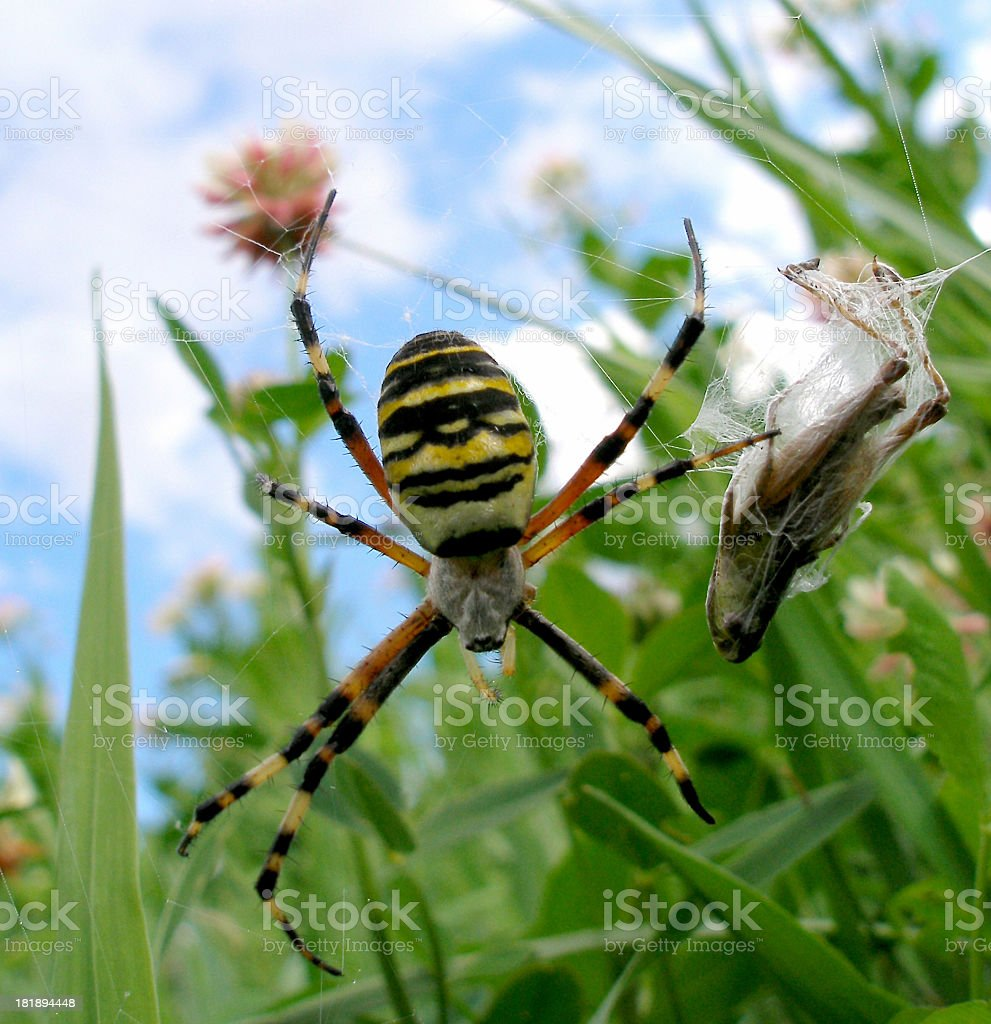 wasp spider in the green royalty-free stock photo