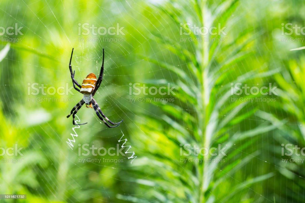 Aranha de vespa na web - foto de acervo