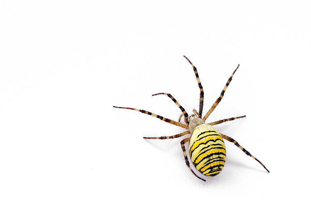 wasp spider A wasp spider isolated on white.Other Objects Isolated on white: ensnare stock pictures, royalty-free photos & images