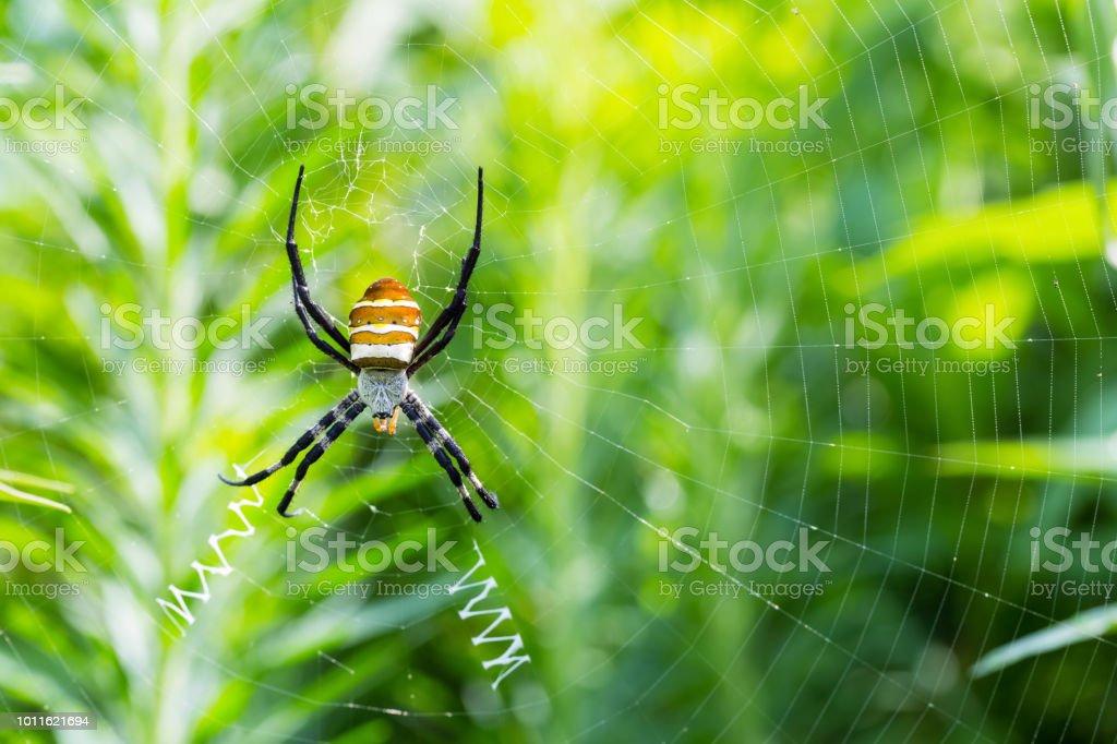 Aranha de vespa sentado na teia de aranha - foto de acervo