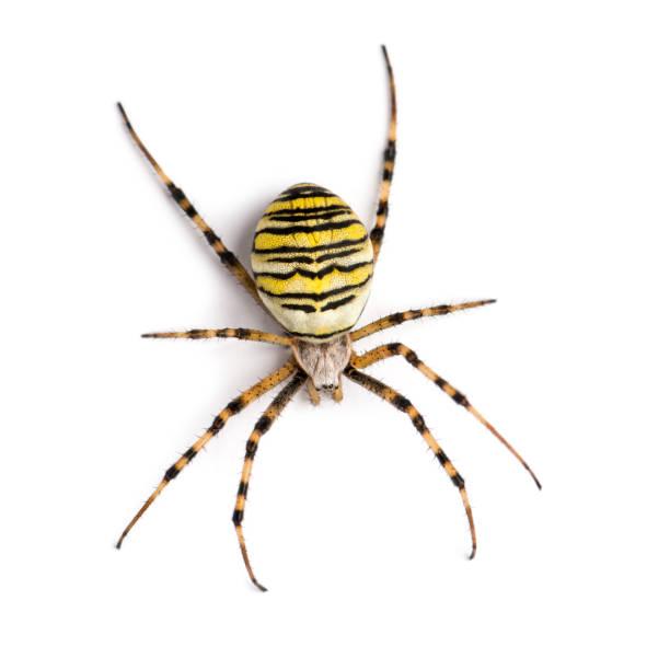 araignée de guêpe vue du haut élevé, argiope frelon, isolé sur blanc - araignée photos et images de collection