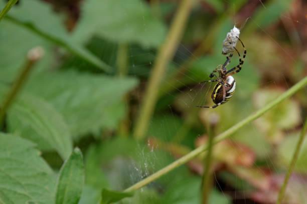 Wasp-Spinne mit Beute im Spinnennetz – Foto