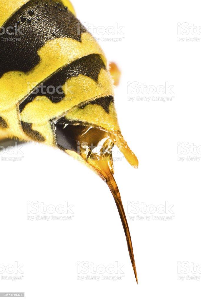 wasp stinging stock photo