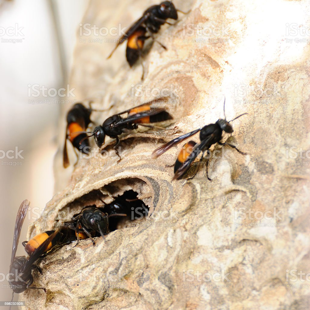 Wasp survey on their nest foto royalty-free