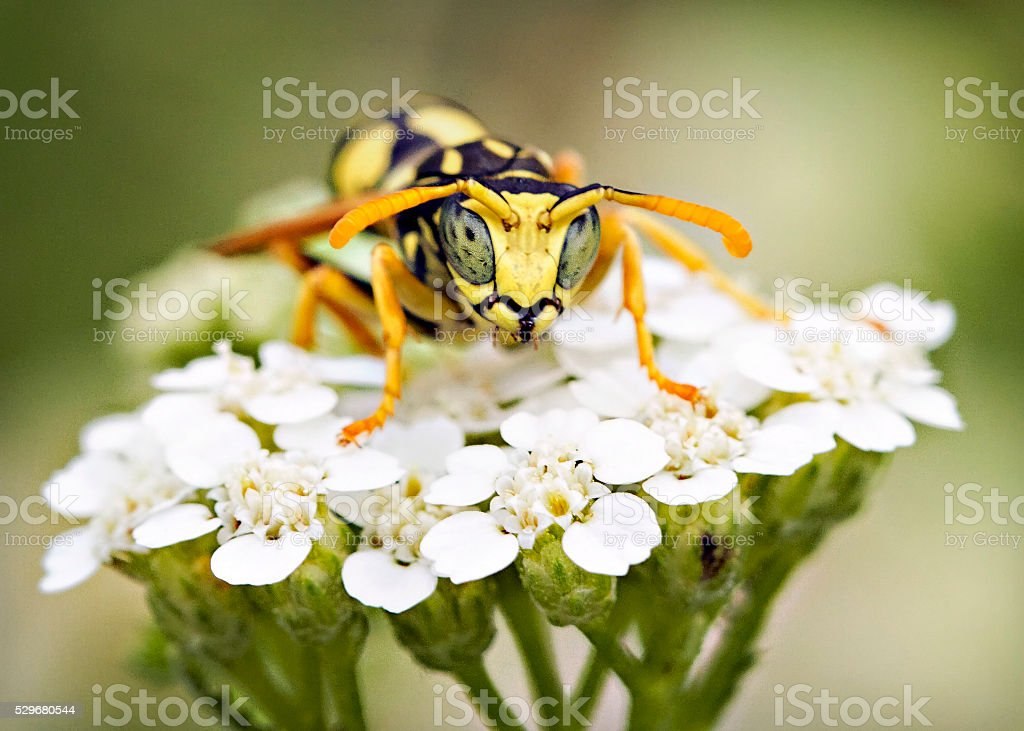 Wasp sweet glance stock photo