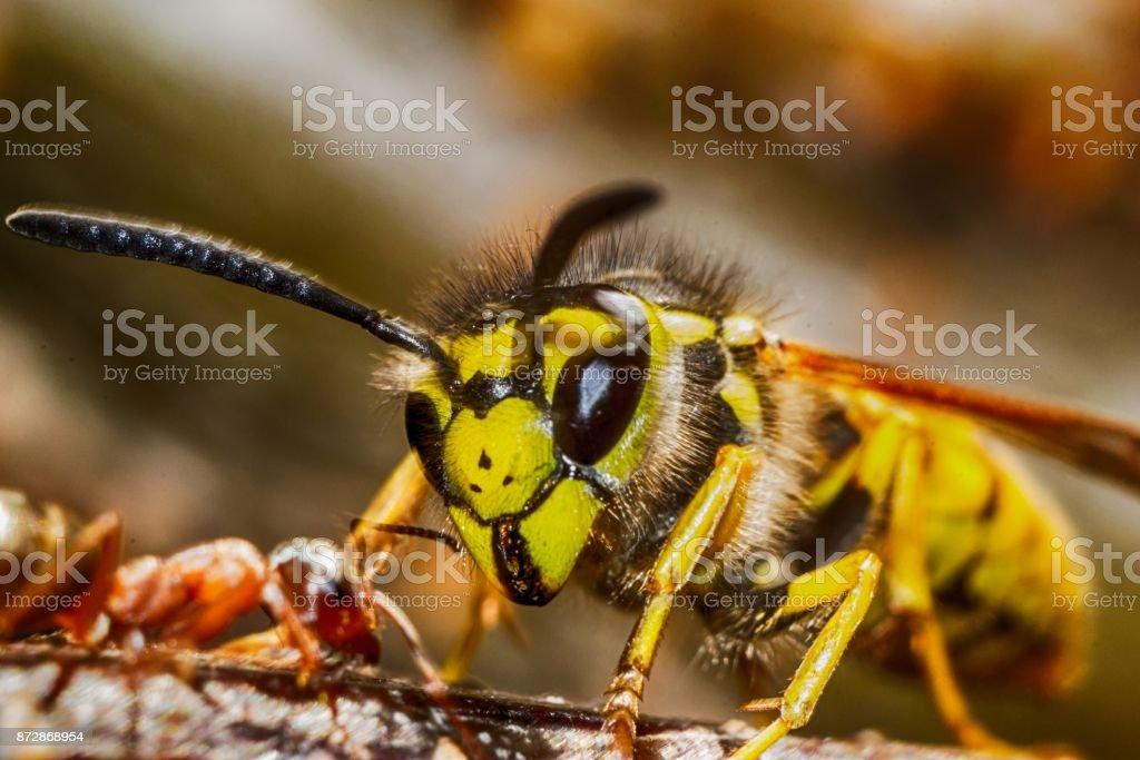 hormiga vs de avispa - foto de stock
