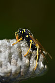 Macro of wild wasp resting in hive vespiary