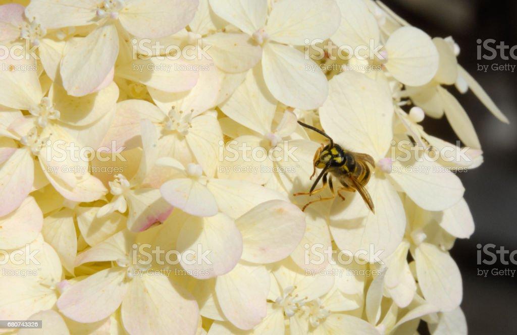 Wasp yellowjacket on white summer hydrangea blossom stock photo