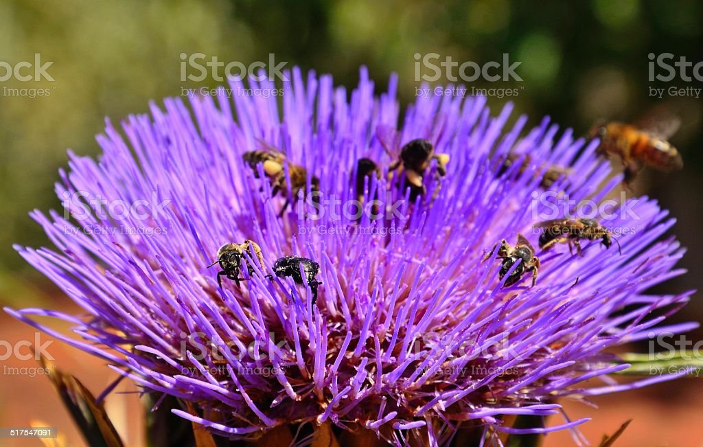 Wasps, bees and insects on wild artichoke flower stock photo
