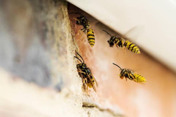 Wespen verursachen Problem durch den Bau Nest unter dem Dach des Hauses – Foto