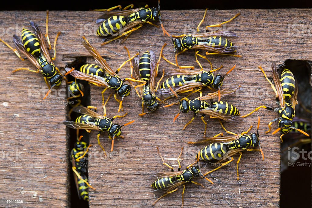Wasps colony stock photo