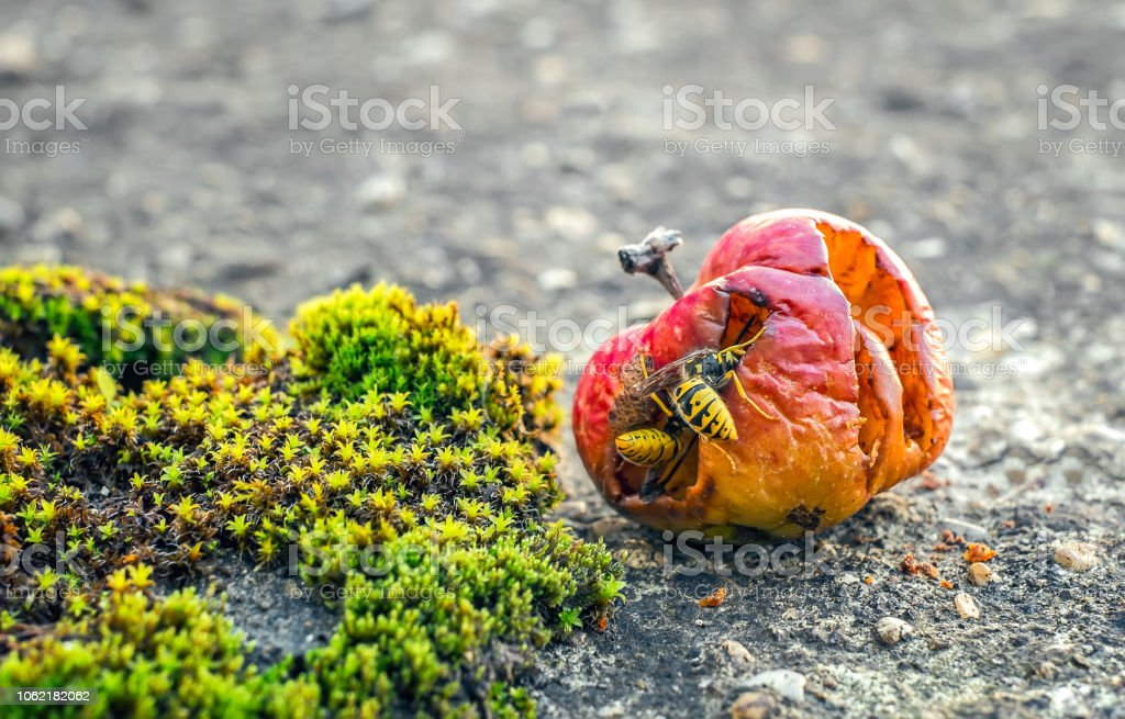 wasps eating from a rotten apple stock photo