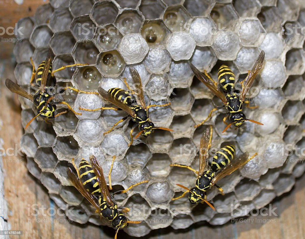 Wasps emerging from their nest royalty-free stock photo