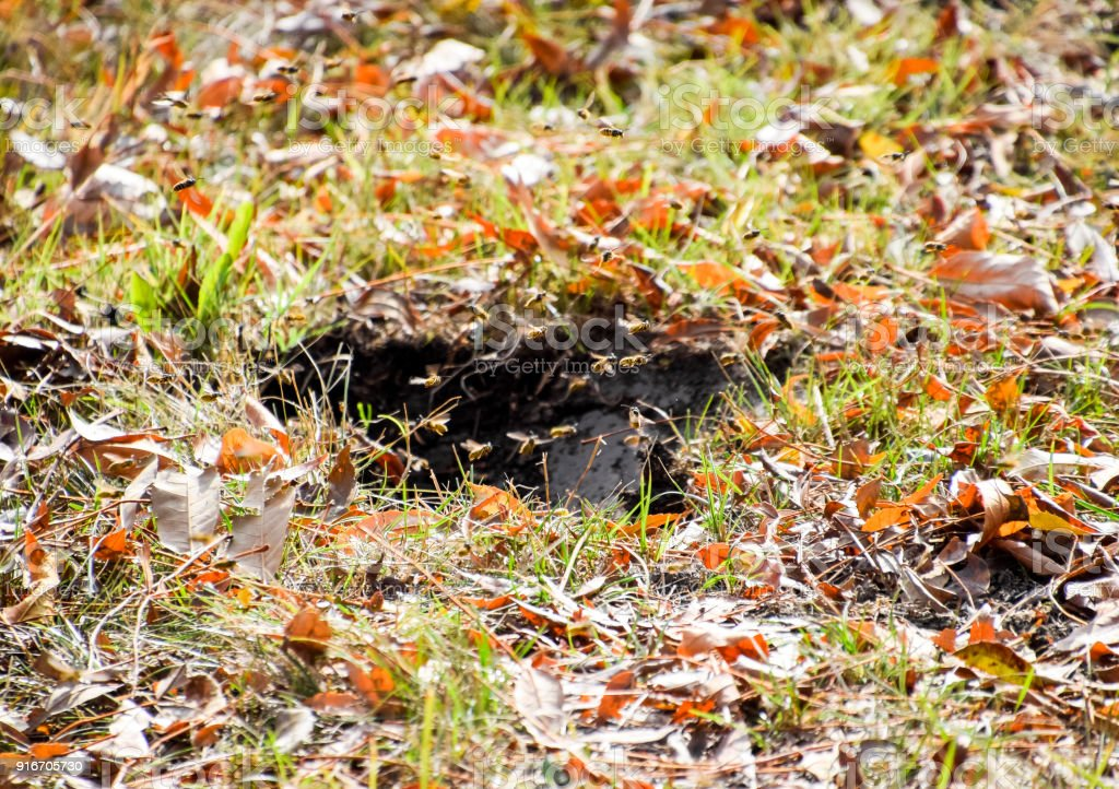 Wasps fly into their nest. Mink with an aspen nest. Underground stock photo