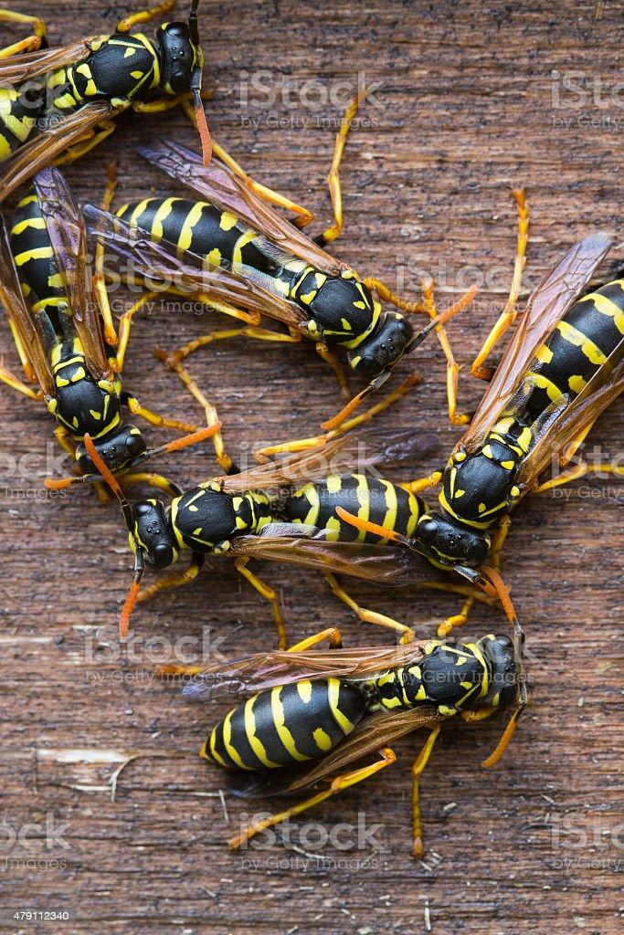 Wasps gathering stock photo