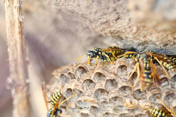 colmeia de vespas abaixo uma rocha - vespa comum - fotografias e filmes do acervo