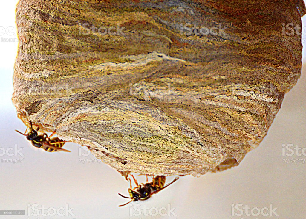 Wasp's nest close up stock photo