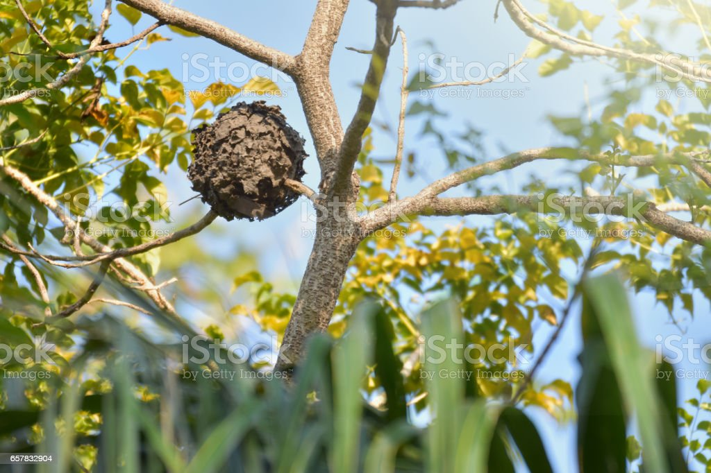 Wasps nest hanging in a tree - foto de stock