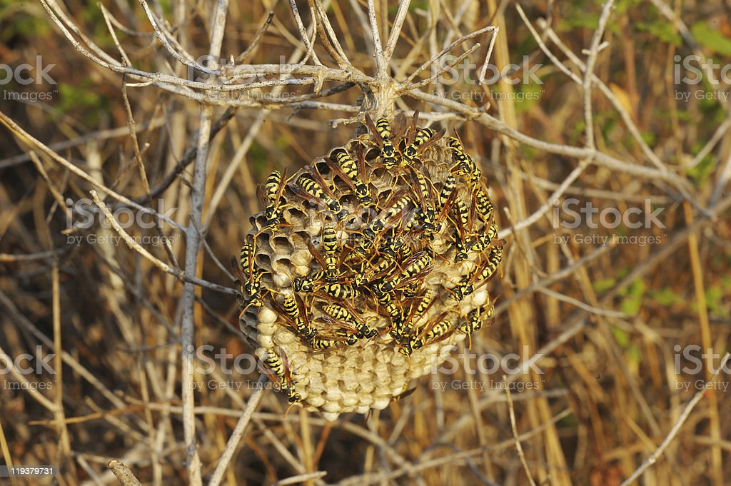 Wasps nest in the grass royalty-free stock photo