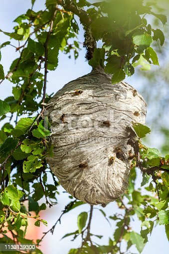 istock Wasp's nest in the tree 1133139300