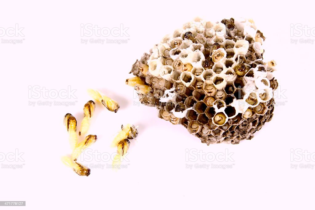 Wasp's nest royalty-free stock photo