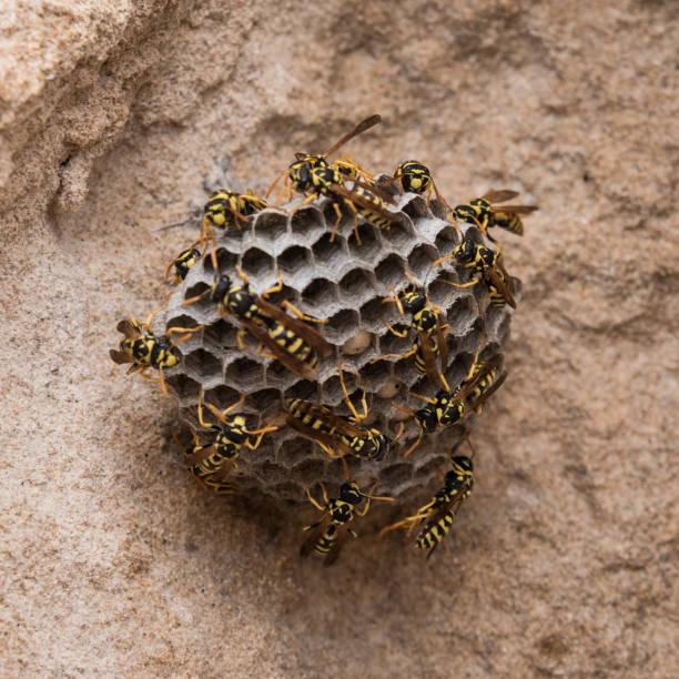 vespas na praia. colmeia de vespas macro sobre fundo de pedra. croped para banner sq - vespa comum - fotografias e filmes do acervo