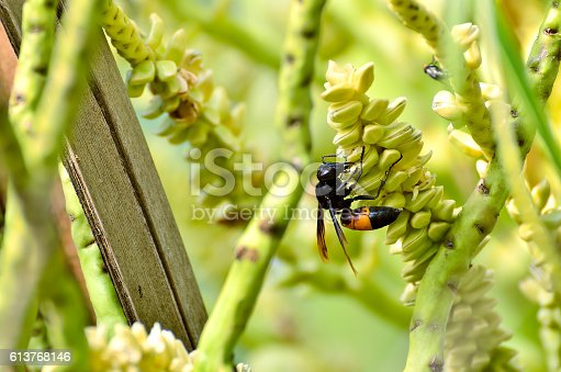 istock Wasps or Vespa affinis are aggressive insects 613768146