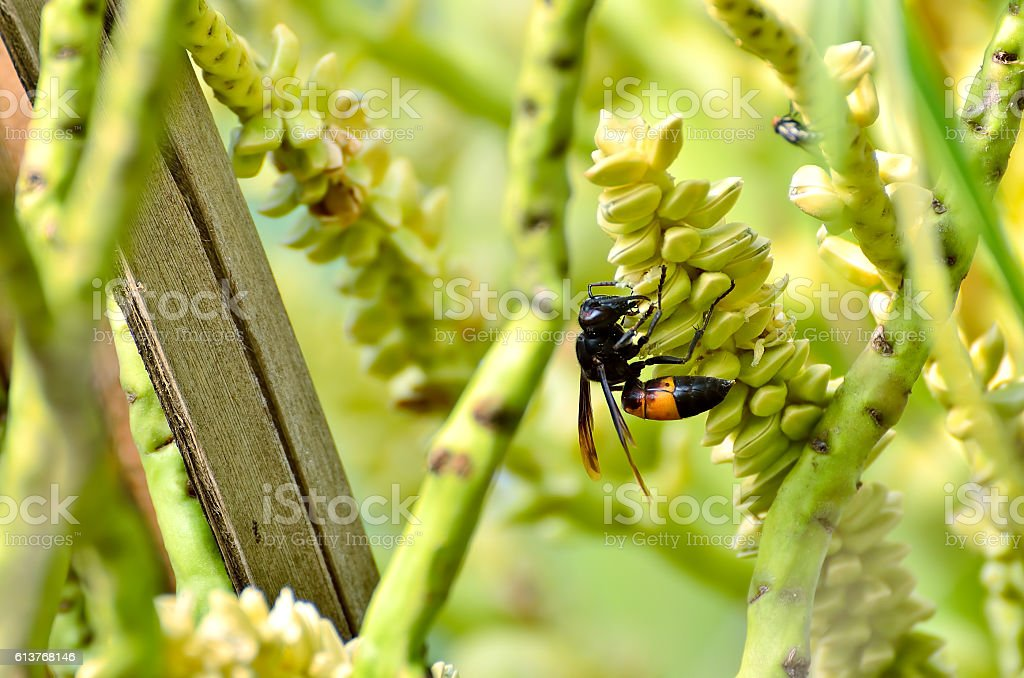 Wasps or Vespa affinis are aggressive insects stock photo
